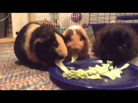 Guinea Pigs Eat Green Cabbage