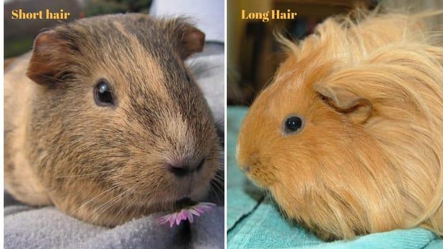 Guinea pig as a pet