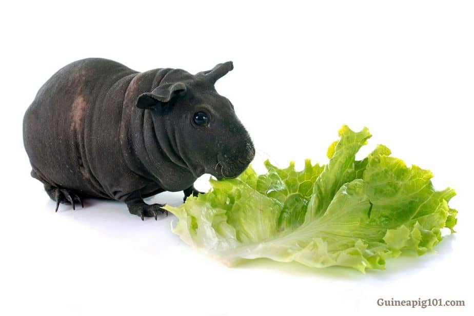 list of vegetables for your guinea pigs