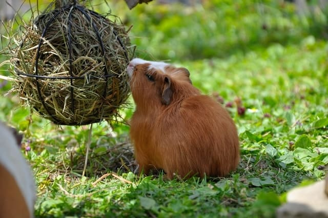 hay for guinea pig