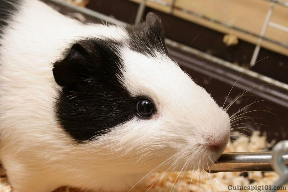 How much water does a guinea pig need?