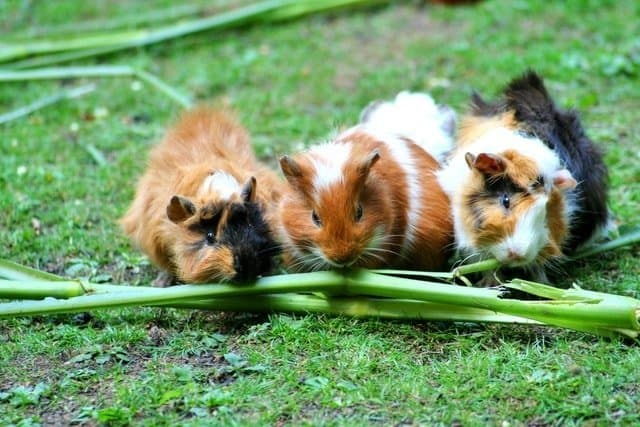 What are the best Vegetables for Guinea pigs?