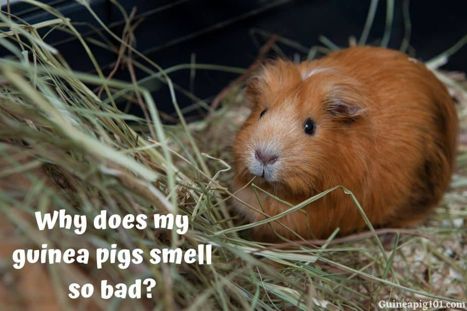 Why does my guinea pigs smell so bad