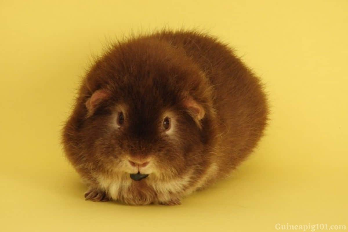 Can Guinea pigs eat Blueberries_ (Serving Size, Benefits & Hazards)