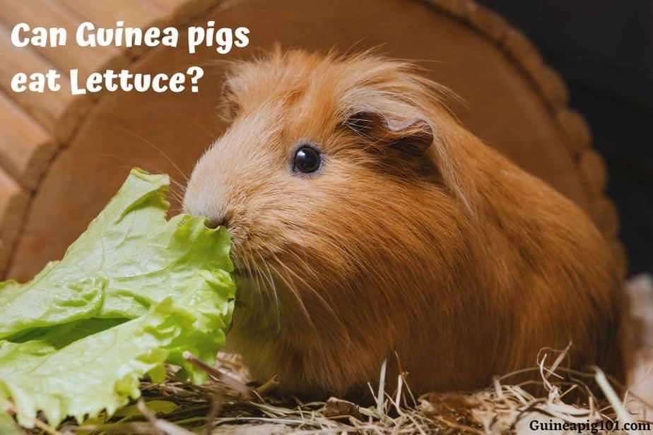 Can Guinea pigs eat Lettuce
