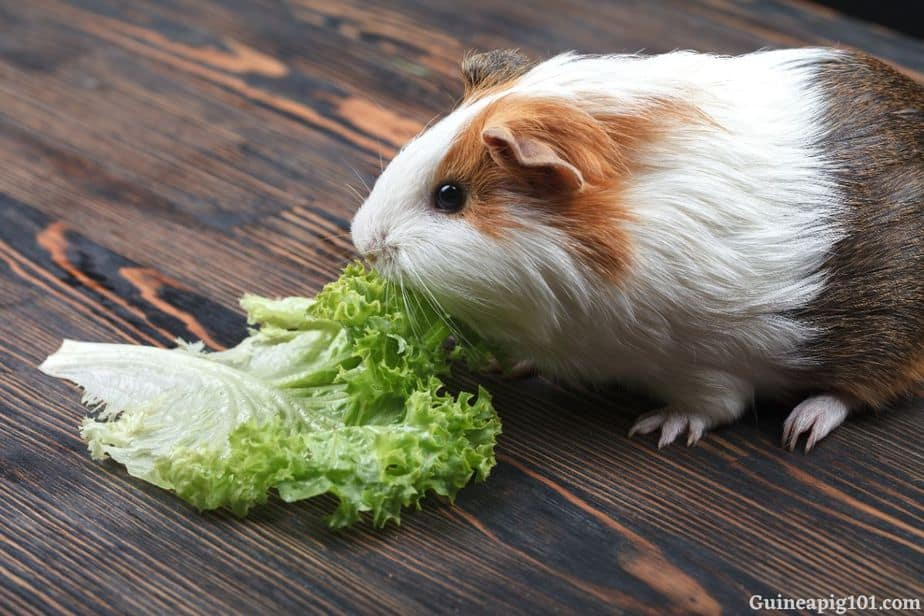 How much lettuce should we serve to our guinea pigs?