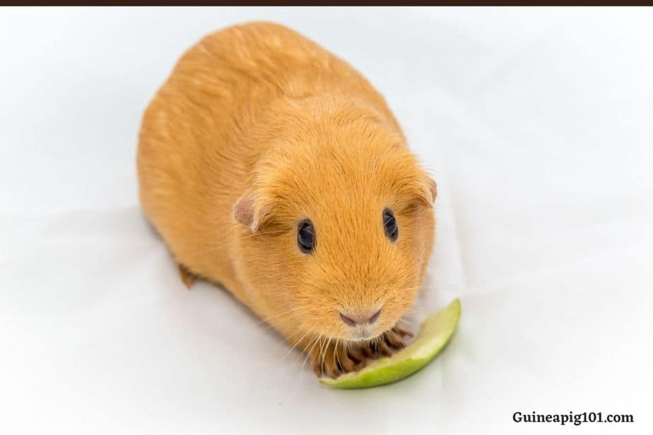 Can Guinea Pigs Eat Green Apple?