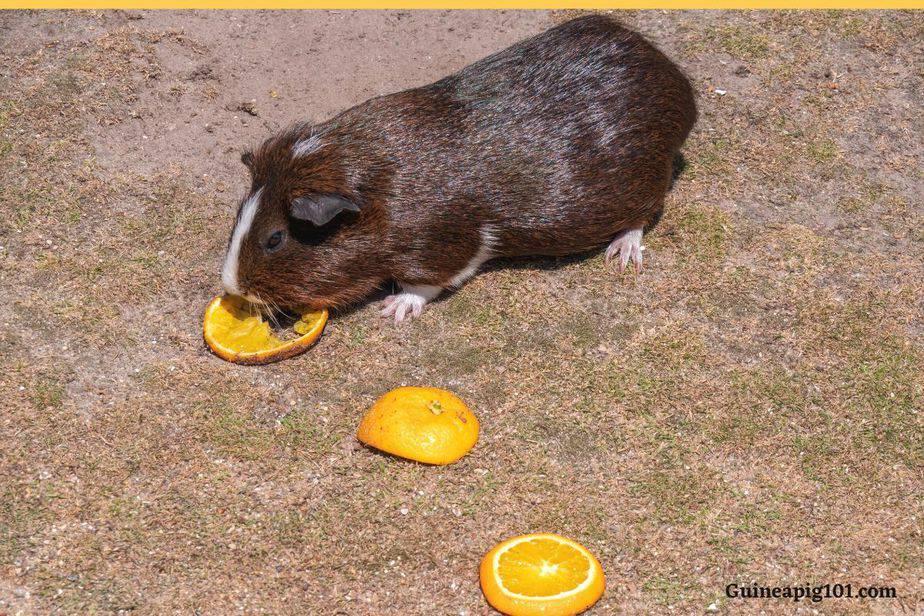 guinea pig eating orange