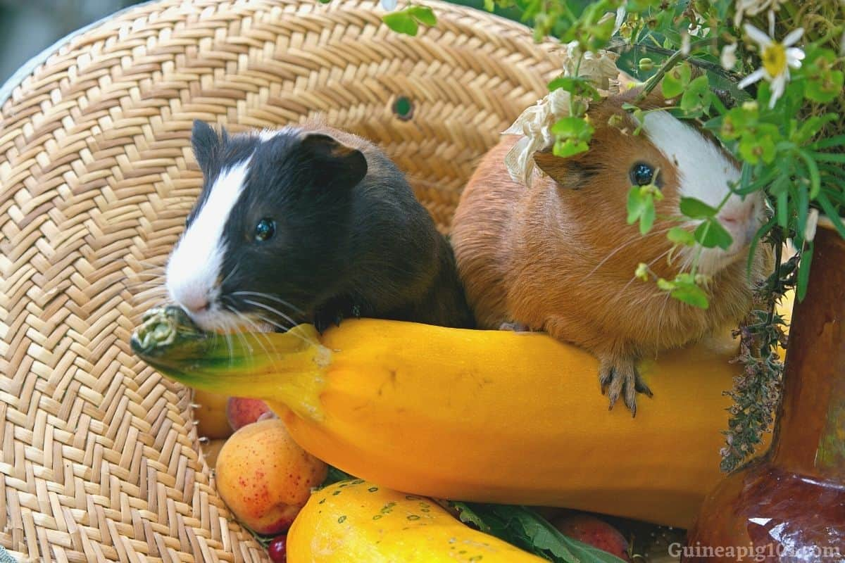 Can guinea pigs eat yellow courgette_