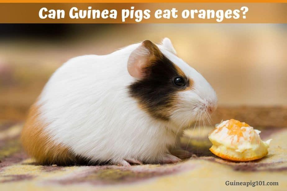 can guinea pigs eat oranges?