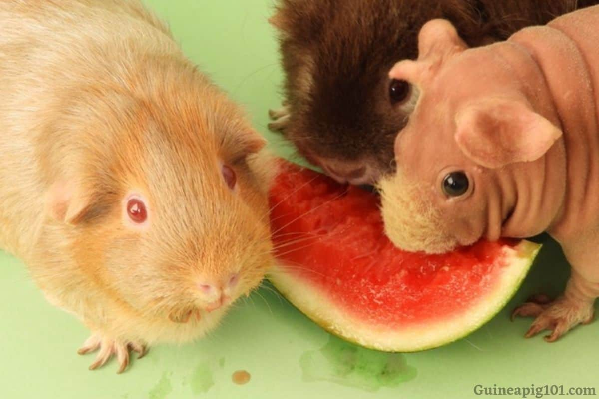 Guinea Pigs Eat Watermelon?