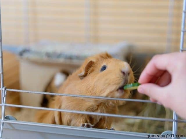 How much cucumber can guinea pigs eat