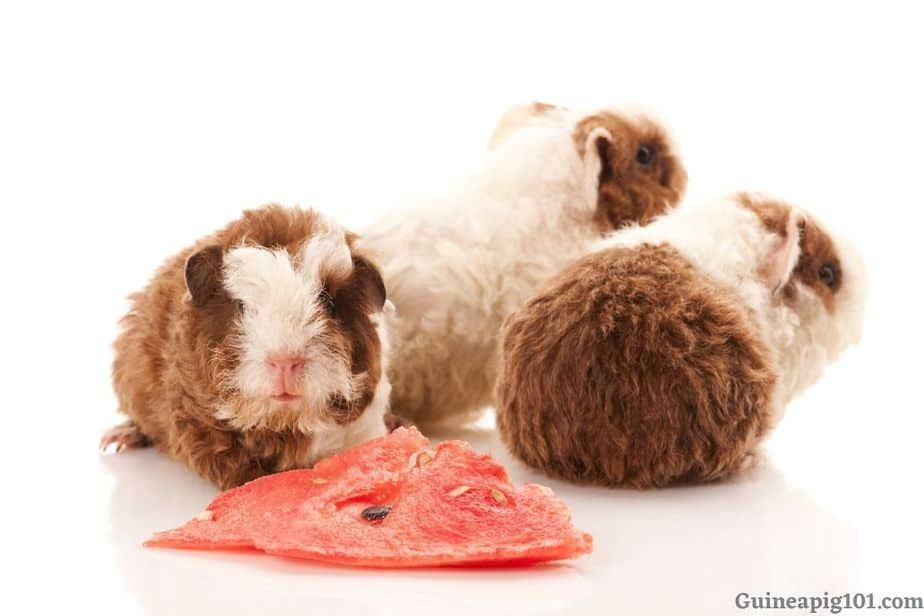 Is Watermelon bad for Guinea pigs?