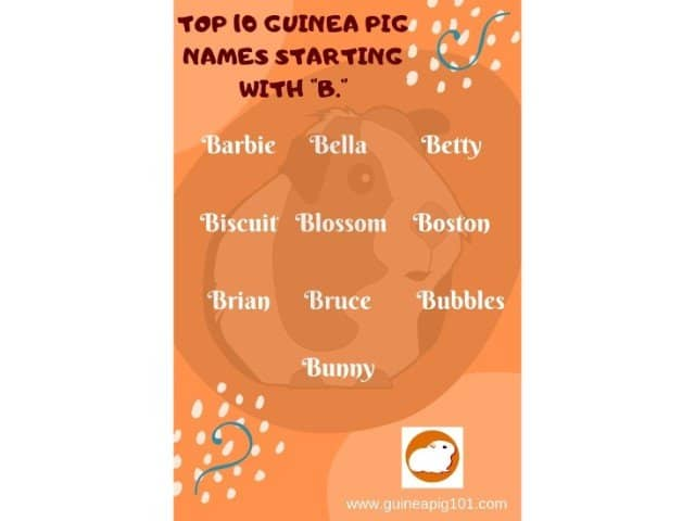 Guinea Pig name starting with b