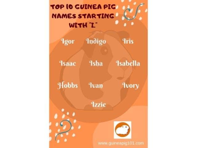 Guinea Pig name starting with i