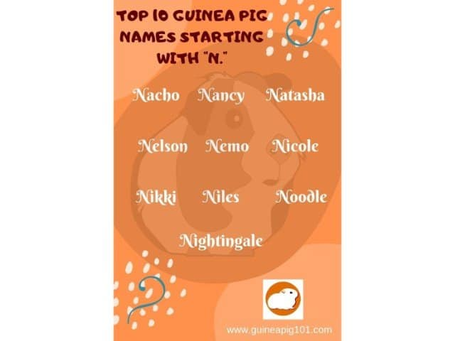 Guinea Pig name starting with n