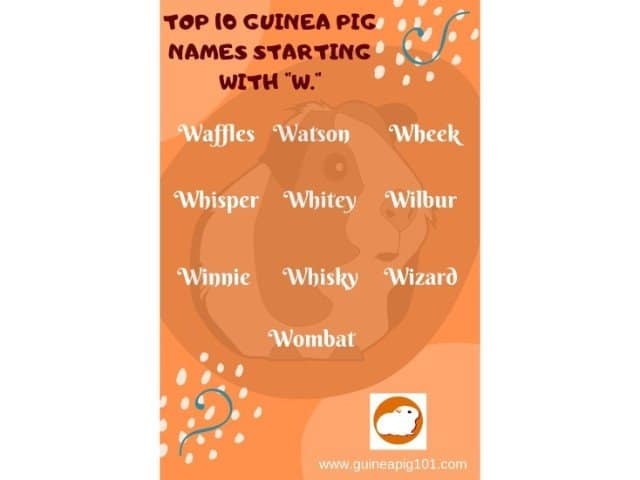 Guinea Pig name starting with w