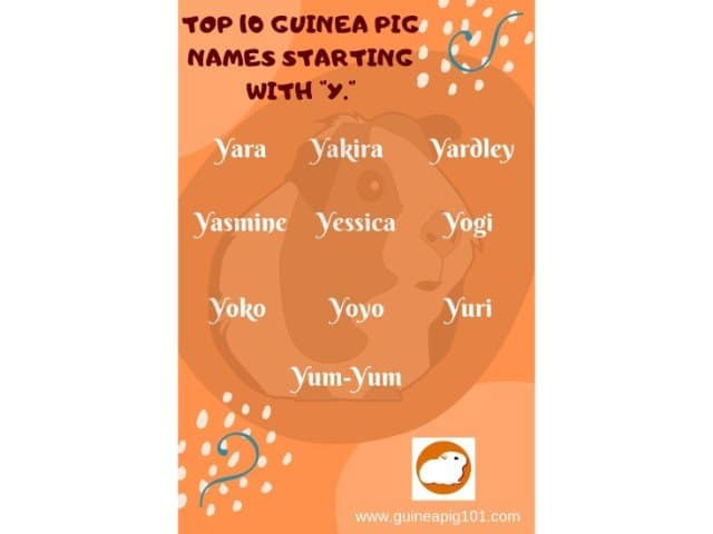 Guinea Pig name starting with y