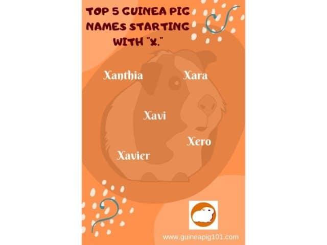 Guinea Pig name starting with x