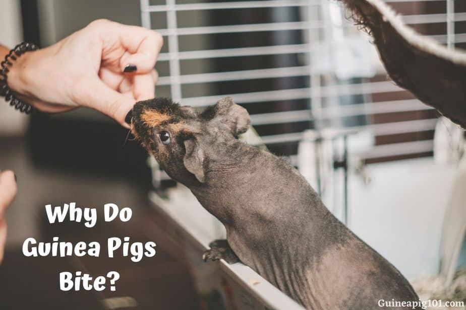 Why Do Guinea Pigs Bite