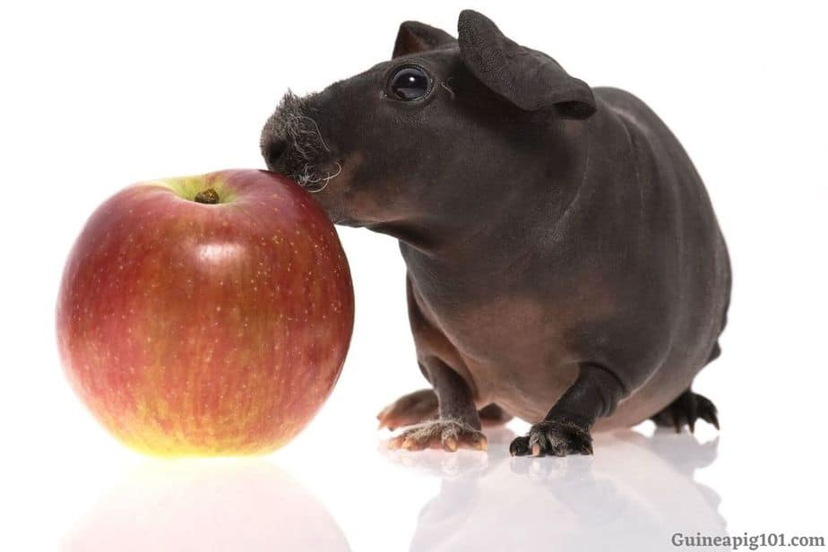 Is Apple Good for Guinea pig's health?