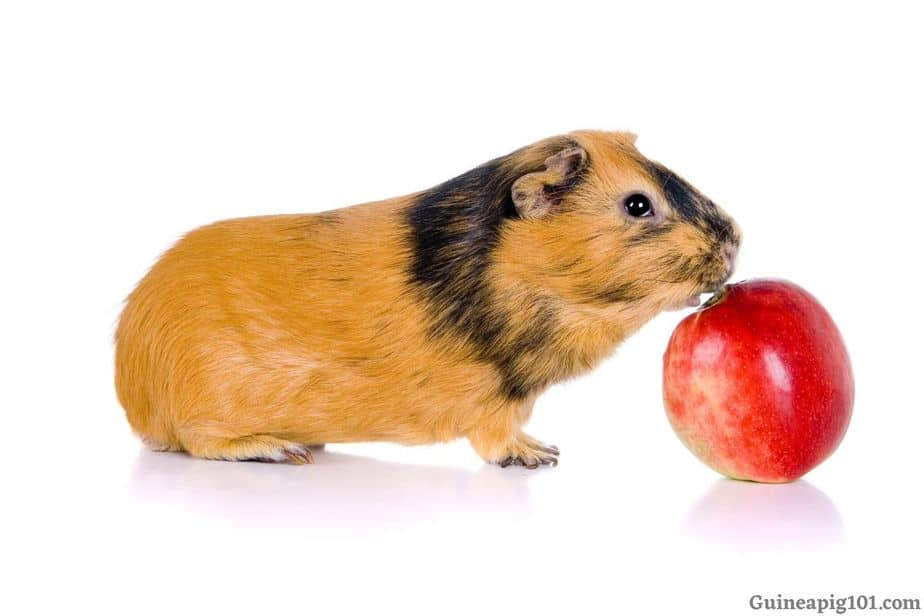 So Should We Feed Our Guinea Pigs Apples?