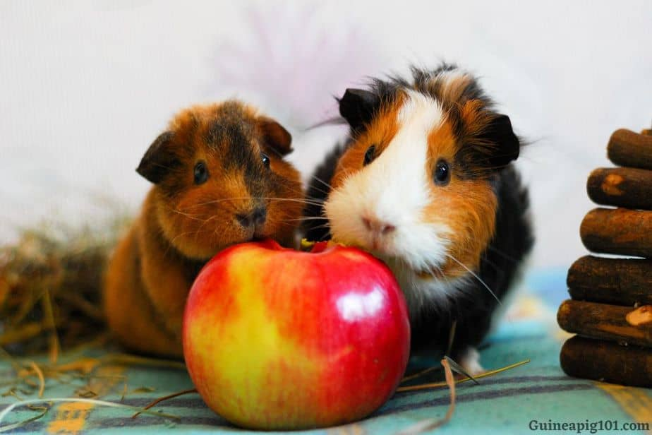 Can Guinea Pigs Eat Apples With Skin?