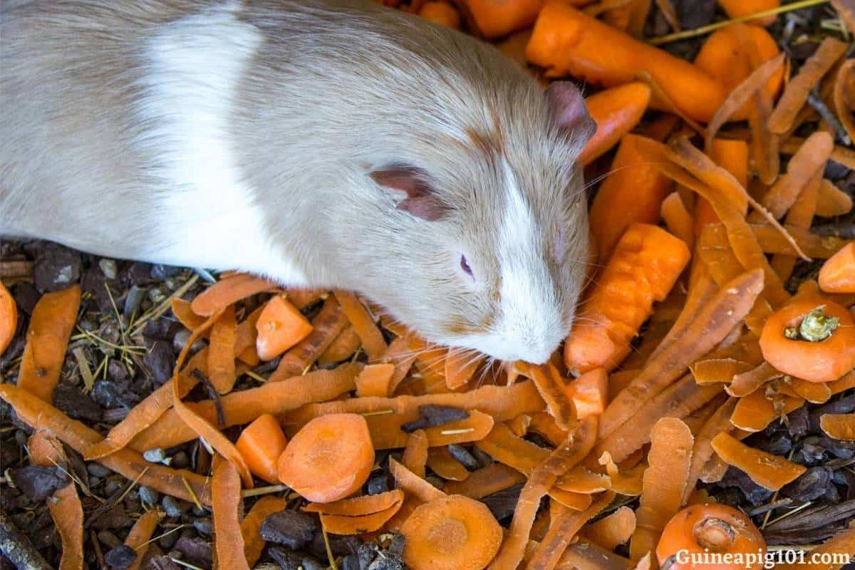 Can guinea pigs eat carrot skin?