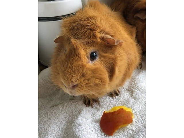 Can Guinea Pigs Eat Peaches? (Serving Size, Benefits, Risks