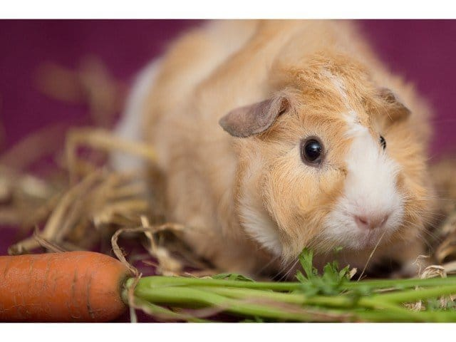 can guinea pigs eat carrot tops