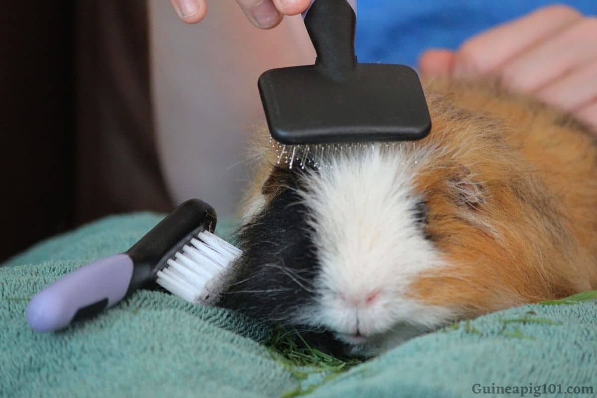 Brushing Guinea Pigs Hair