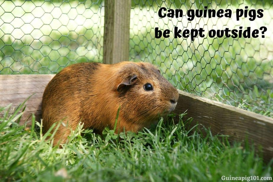 Can guinea pigs be kept outside?