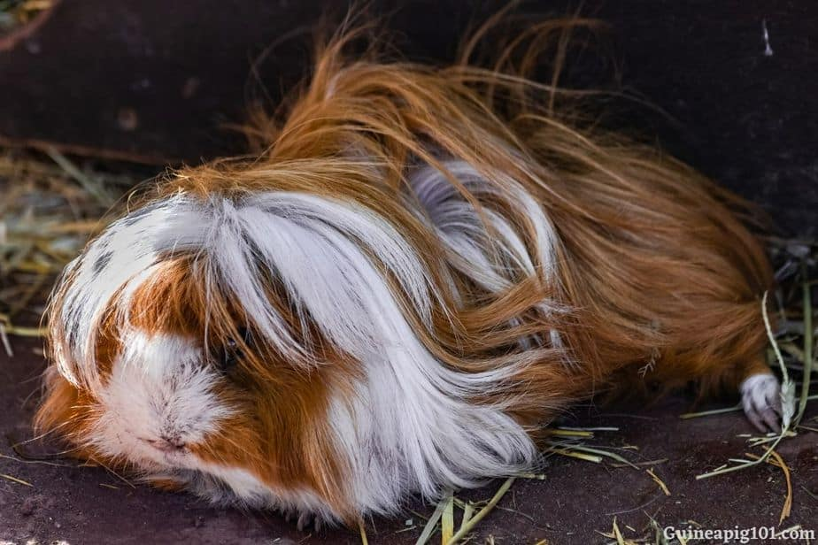 How do I know if my guinea pig is sleeping?