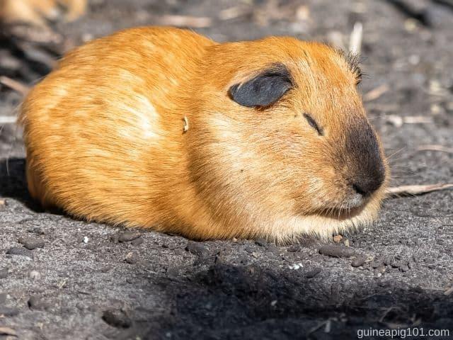 Do guinea pigs close their eyes