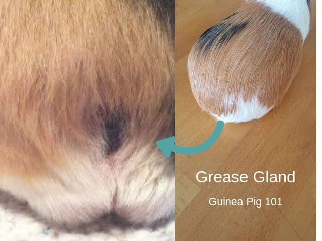 Guinea pig grease gland