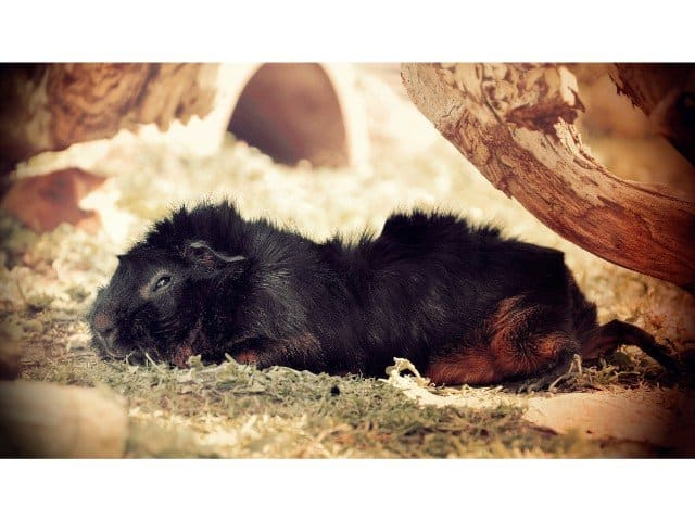 Why do guinea pigs sleep with their eyes open