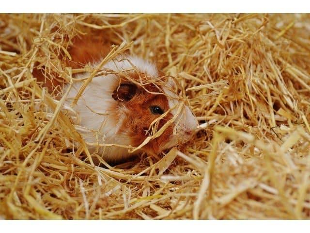 Do guinea pigs sleep with their eyes open