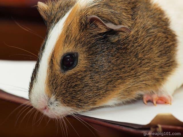 Are guinea pigs noisy