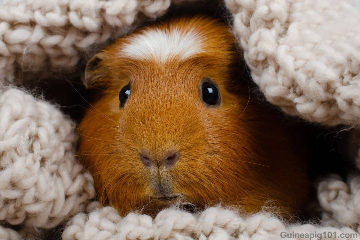 Crested guinea pig toys