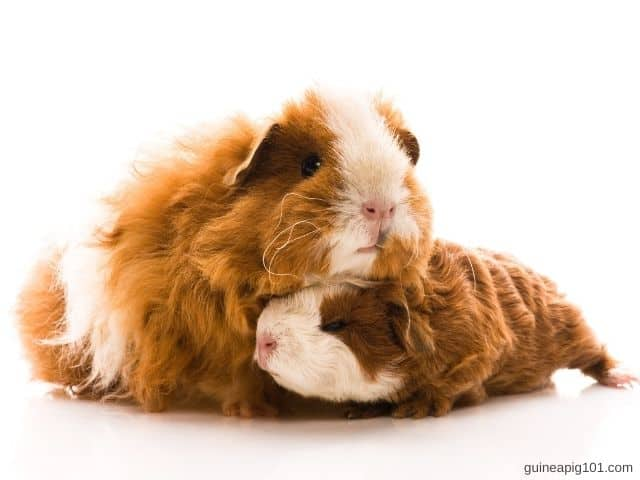 How much do texel guinea pigs price