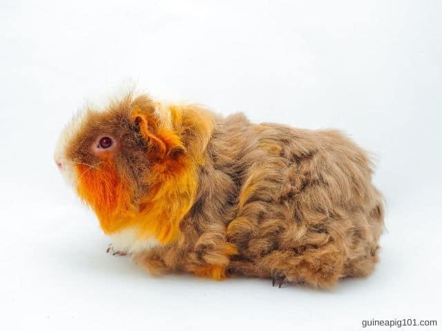 How to groom Texel guinea pig