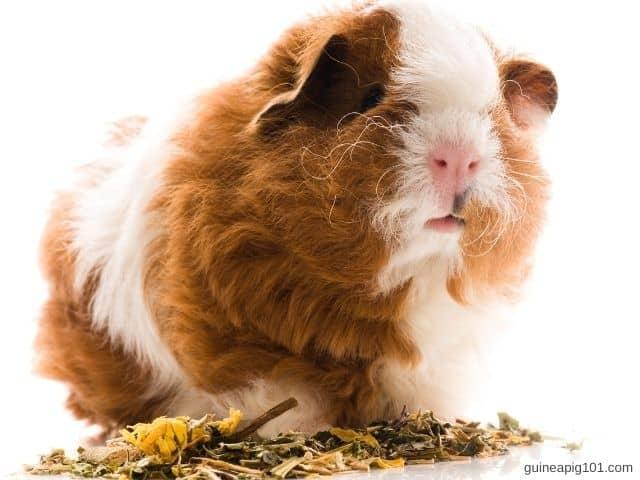 Texel Guinea Pig Care