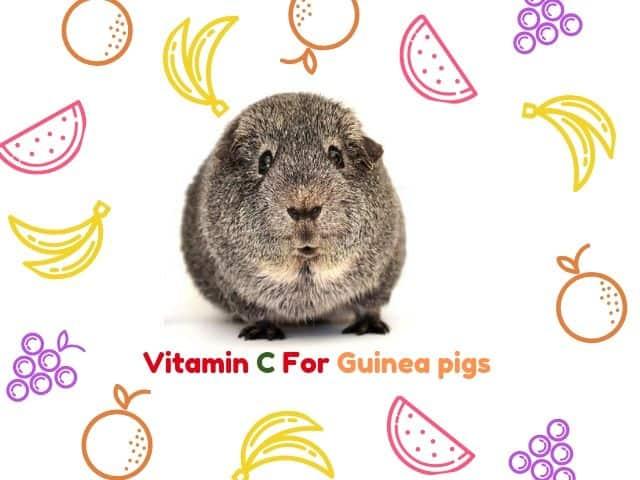 Vitamin C For Guinea Pigs
