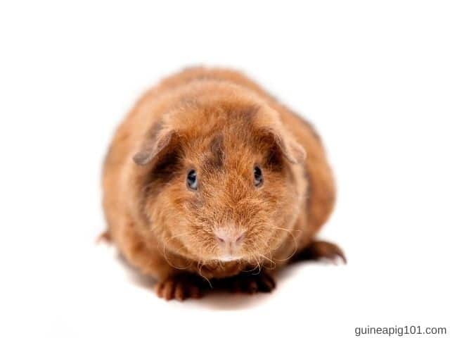 Are Teddy guinea pigs friendly