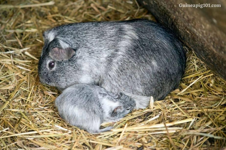 Baby guinea pig basic diet