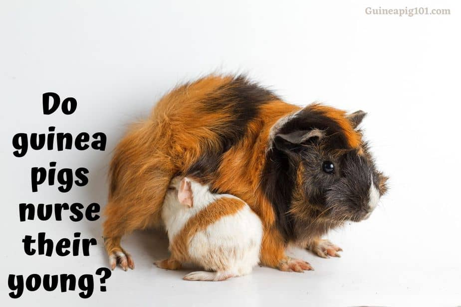 Do guinea pigs nurse their young