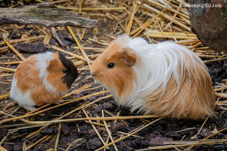 How long do guinea pigs nurse their young?