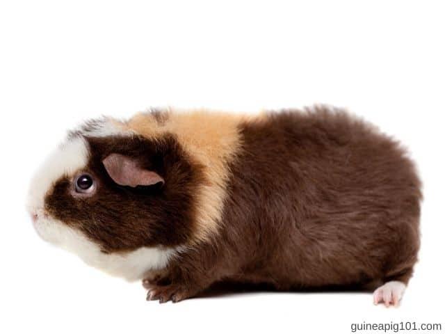 Physical Appearance Of Teddy Guinea Pig