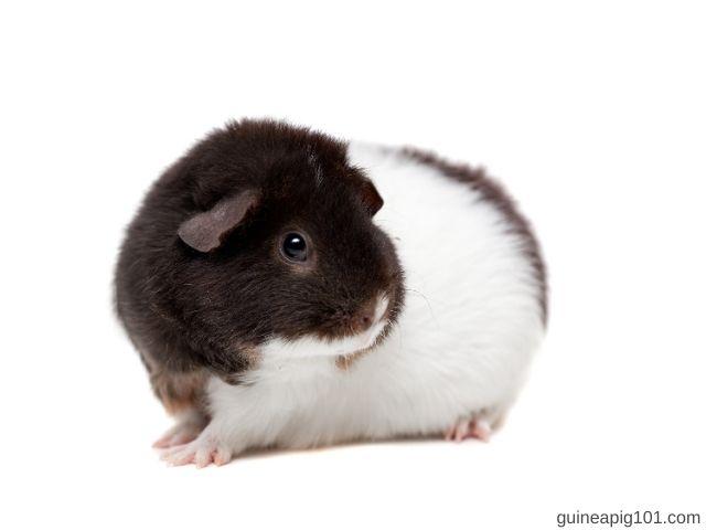 Teddy Guinea Pig Weight