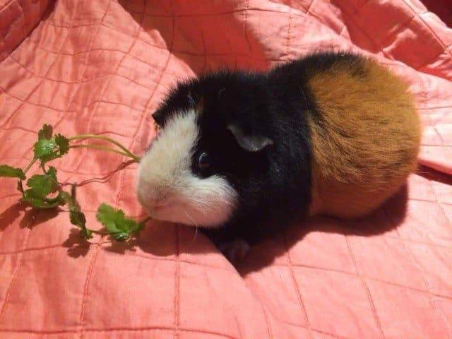 Teddy guinea pig diet
